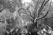 Mahogany and Spanish Moss add to the atmosphere of the coastal forest in this monochrome study