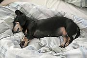 Nederland, Nijmegen 3-08-2011Onze 14 jaar oude teckel Pietje ligt op bed. Een oude hond slaapt veel.Foto: Flip Franssen/Hollandse Hoogte