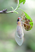Periodical Cicada; Magicicada septendecim; recently metamorphosed; NY, near Bear Mt., Orange Co.