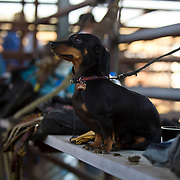 Rusty watches faithfully as his friend prepares for the night at the Darby MT Elite Proffesionals Bull Riding Event July 7th 2017.  Photo by Josh Homer/Burning Ember Photography.  Photo credit must be given on all uses.