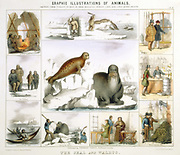 Seal and Walrus used for: food and tents: clothing: canoes: fur: oil: glue: false teeth. Hand-coloured lithograph by Waterhouse Hawkins published London c1850. From 'Graphic Illustrations of Animals and Their Utility to Man'.
