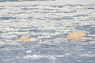 01874-12111 Polar Bear (Ursus maritimus) mother and cub jumping on ice in Hudson Bay  in Churchill Wildlife Management Area, Churchill, MB Canada
