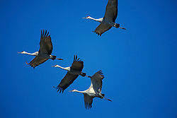 Sandhill Cranes (Grus canadensis) in flight.