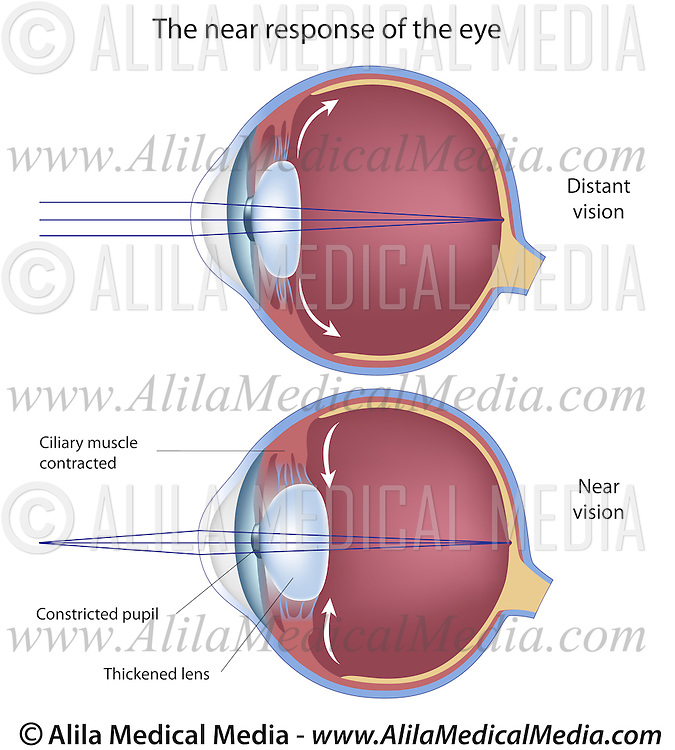 The Near Response Of The Eye Alila Medical Images