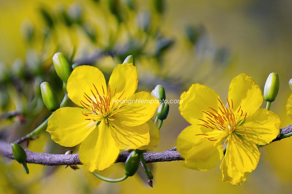 Vietnam Images-flower-nature-new year Hoa mai vàng -Hoàng thế Nhiệm