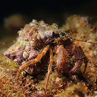 Pagurus armatus- Hermit Crab