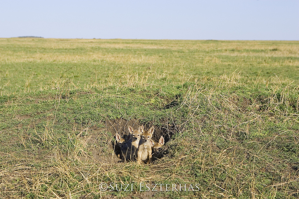 Black-backed Jackal<br /> Canis mesomelas<br /> 6 week old pup(s) at den<br /> Masai Mara Triangle, Kenya