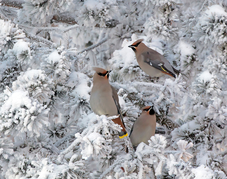 Alaska. Bohemian Waxwings (Bombycilla garrulus) surrounded by hoar frost in trees in winter, Anchorage.