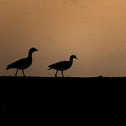 Two Egyptian Geese walk a watering hole shoreline at dusk.