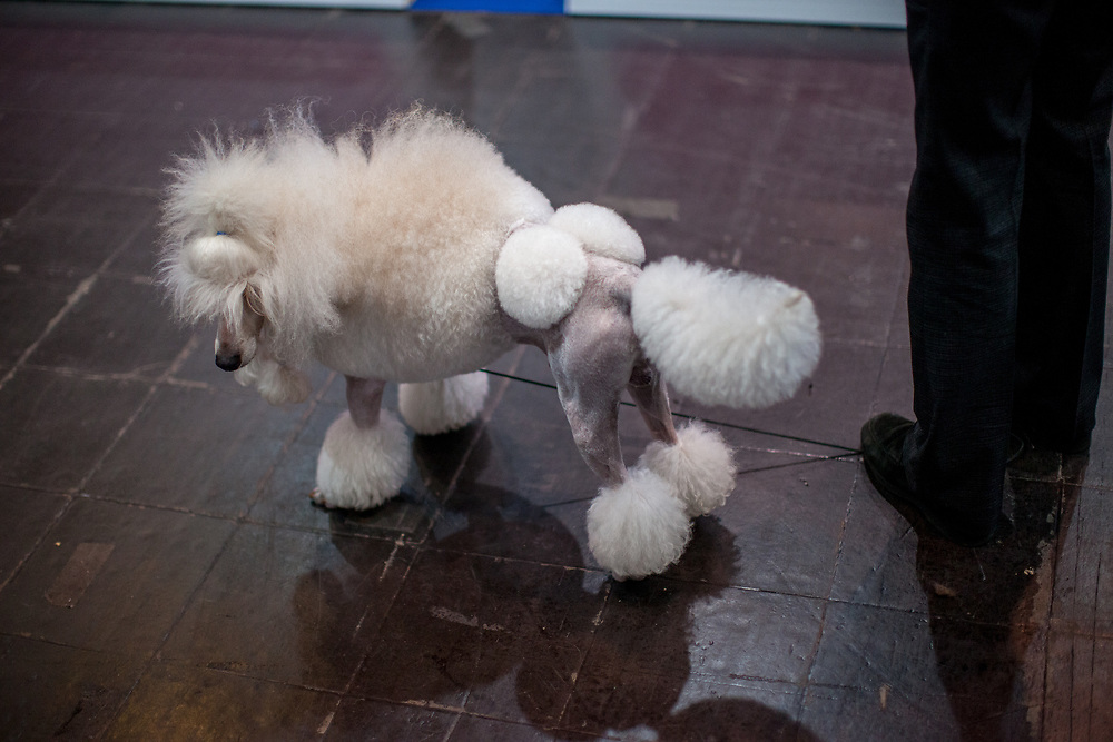 Sariante Christian Grey - a medium poodle owned by Sarah Fray who comes from the United KIngdom at the Leipzig Trade Fair. Over 31,000 dogs from 73 nations will come together from 8-12 November 2017 in Leipzig for the biggest dog show in the world.