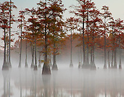 A smooth lake of water and fog encases the cypress trees like a sheet of glass.<br /> George L. Smith. Twin-City, GA