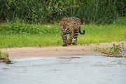 Jaguar (Panthera onca)<br /> Northern Pantanal<br /> Mato Grosso<br /> Brazil