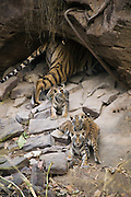 Bengal Tiger<br /> Panthera tigris <br /> Mother and four week old cubs at den <br /> Bandhavgarh National Park, India