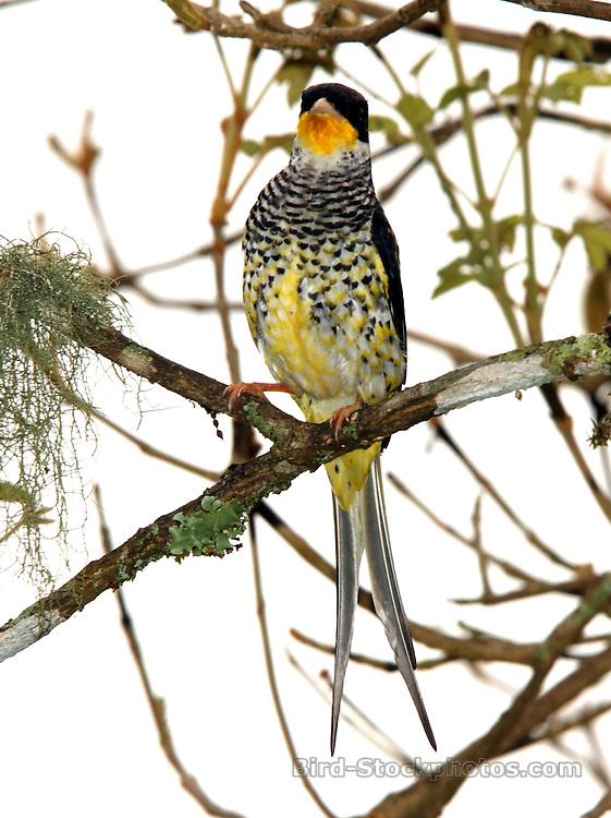 Swallow-tailed Cotinga, Phibalura flavirostris, in tree, Hotel do Ype, Itatiaia National Park, Brazil, by Adam Riley
