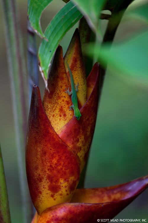 A small Madagascar Gecko hunts for bugs on a Splah Heliconia flower, Onomea, Big Island, Hawaii
