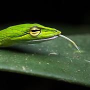 Big-eyed Vine Snake (Ahaetulla mycterizans) in Lam Nam Kra Buri national marine park, Thailand