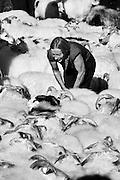Gathering sheep