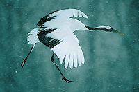 A red-crowned crane (Grus japonicus) flies through falling snow.  Hokkaido, Japan...IUCN Red List:  Endangered Species