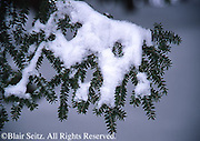 Snow on pines, Hills Creek State Park, Tioga County, PA