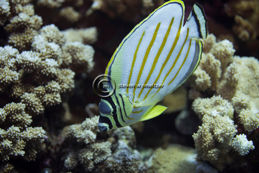 Ornate Butterfly Fish, Chaetodon ornatissimus, Cuvier, 1831, Maui Hawaii