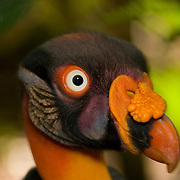 King Vulture (Sarcoramphus papa), Belize Zoo, Belize, Central America