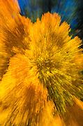 Golden fall aspen abstract, Inyo National Forest, Sierra Nevada Mountains, California USA