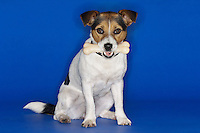 Jack Russell terrier sitting holding rubber bone in mouth