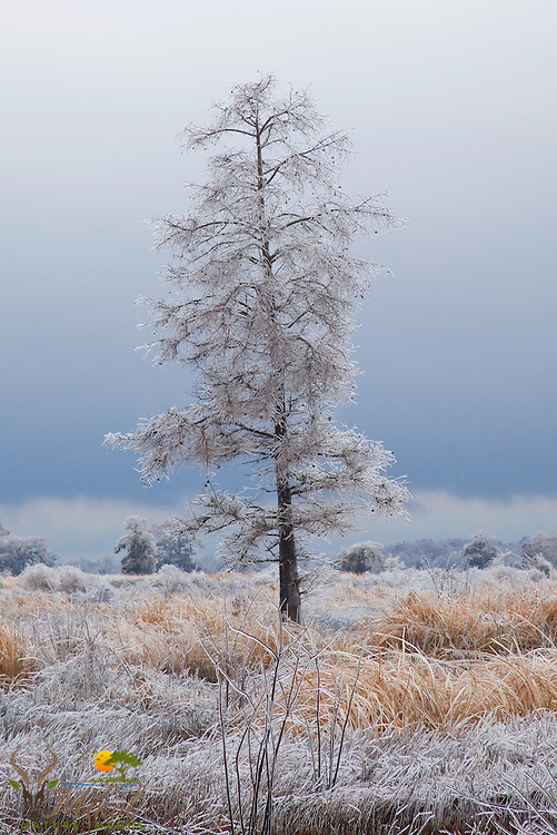 Ice-covered tree in ricefields