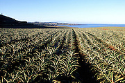 Pineapple field, Kapalua, Maui, Hawaii<br />