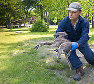 Middletown, New York -  New York State Department of Environmental Conservation principal fish and wildlife technician Thomas Raffaldi releases a banded Canada goose gosling at Fancher-Davidge Park in  Middletown, New York. Geese are banded in late June and early July because they are molting and unable to fly.  Banding helps scientists learn about the birds' migration, feeding patterns and other behaviors.
