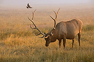 A wayward brown-headed cowbird attempts numerous landings on this bull elk's antlers, perhaps mistaking them for tree branches.  After countless failed attempts, the tenacious cowbird finally gave up and decided to perch in a nearby pine tree.