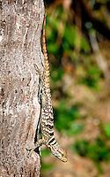 Madagascar Rock Dwelling Iguana