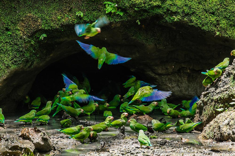 Cobalt-Winged Parakeet [Brotogeris cyanoptera] at clay lick, Ecuador