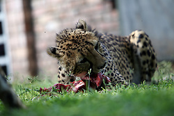 NAMIBIA KAMANJAB 27APR14 - Tame cheetahs enjoy a feeding session at the Ojitotongwe Cheetah farm near Kamanjab, Namibia.<br /> <br /> <br /> <br /> jre/Photo by Jiri Rezac<br /> <br /> <br /> <br /> &copy; Jiri Rezac 2014