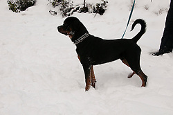 California, Lake Tahoe: Young Rottweiler dog 15 month old in the snow at  North Lake Tahoe Regional Park.  Photo copyright Lee Foster.  Photo # cataho107514
