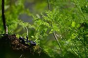 The Grass Snake, sometimes called the Ringed Snake or Water Snake (Natrix natrix) is a European non-venomous snake. | Die Ringelnatter (Natrix natrix), ist eine in mehreren Unterarten in großen Teilen Europas und Asiens sowie Nordafrikas beheimatete Schlange, die zur Familie der Nattern (Colubridae) gehört. Selent, Deutschland