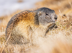 THEMENBILD - ein Murmeltier in einer Wiese, aufgenommen am 20. April 2018 in Fusch an der Glocknerstrasse, Österreich // a marmot in a meadow, Fusch an der Glocknerstrasse, Austria on 2018/04/20. EXPA Pictures © 2018, PhotoCredit: EXPA/ JFK