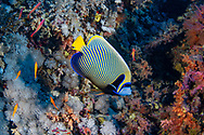 Emperor angelfish-Poisson ange empereur (Pomacanthus imperator) of Red Sea, Sudan.