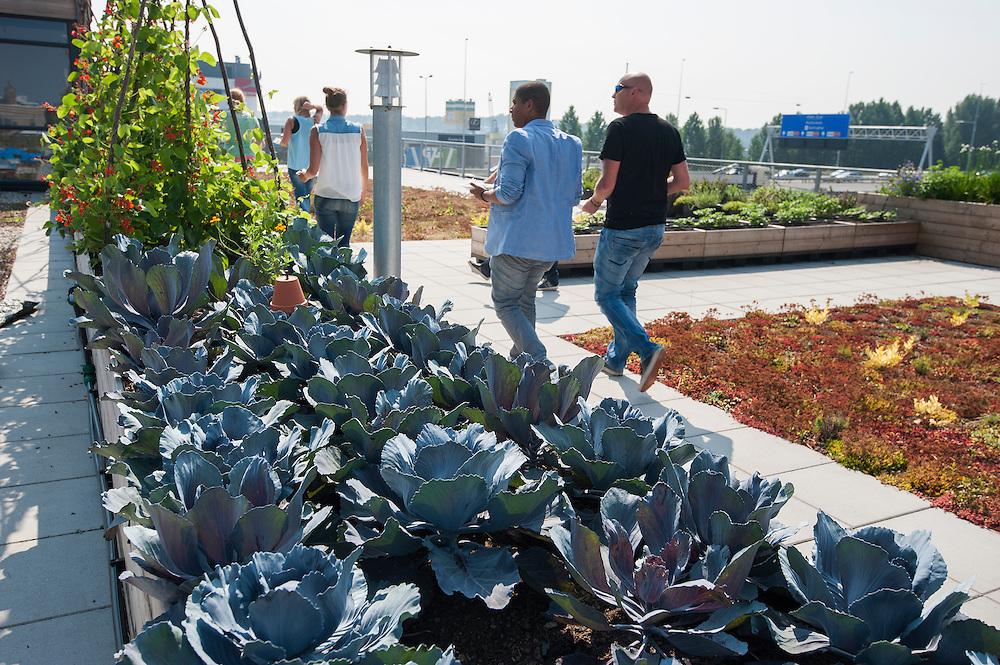 Nederland, Amsterdam, 23 aug 2013<br /> Daktuin op het dak van een kantoorgebouw Zuidpark in Amsterdam-oost. In dit gebouw zitten allemaal hippe bedrijven. Op het dak zijn gedeeltelijk tegels vervangen door sedum. Ook zijn er plantenbakken neergezet waar voornamelijk groenten in worden geteeld. De stadsmens kan zo een beetje voeling houden met hoe voedsel ontstaat. In de zomer is het bovendien een prettige plek om te lunchen of te vergaderen.<br /> Hier staan rode kolen te groeien, op de achtergrond de snelweg.<br /> Foto(c): Michiel Wijnbergh