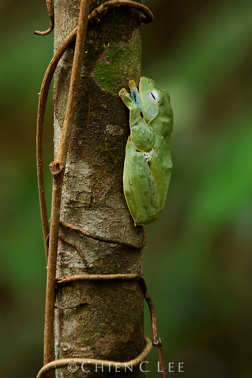A female Bornean Gliding Frog (Rhacophorus borneensis).