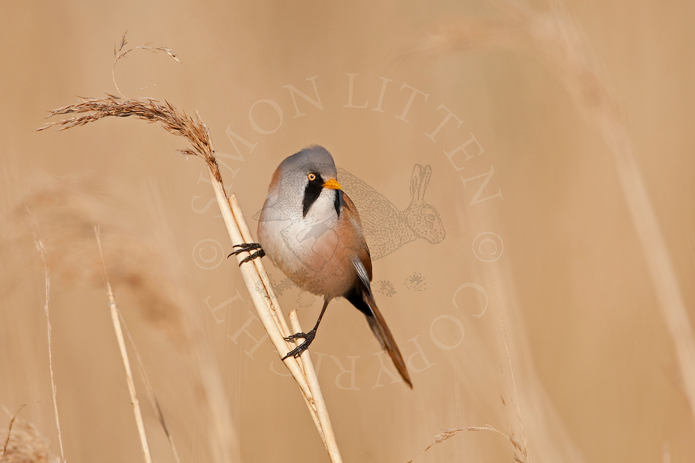 Bearded Tit (Panurus biarmicus) adult male perched on reed, Norfolk, UK.