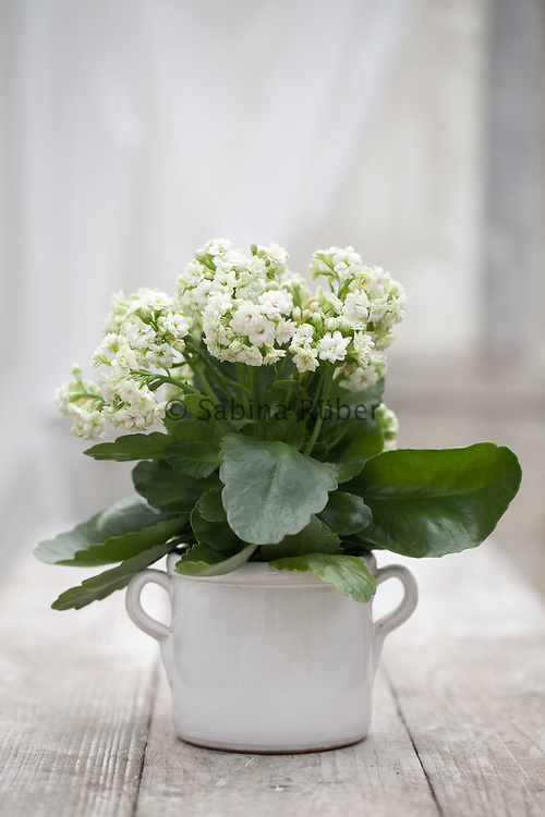 Still Life with white double flowering Kalanchoe