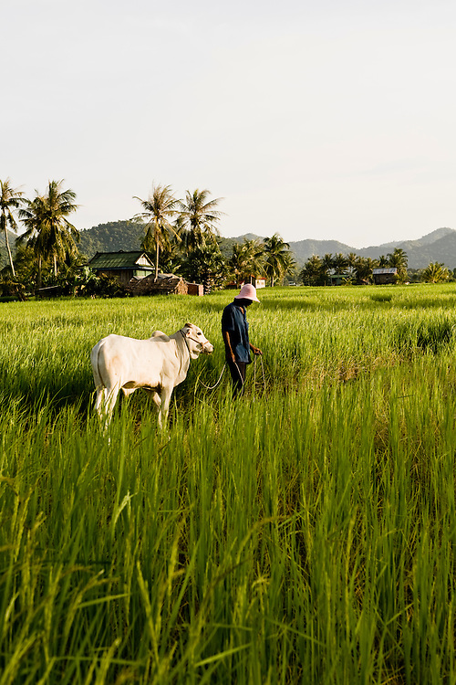 Rice fields. Kep, Cambodia