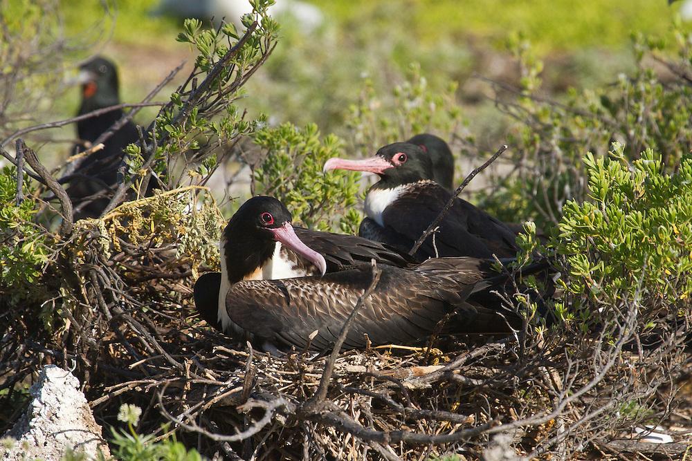 Lesser Frigatebird nest photo Christmas Island