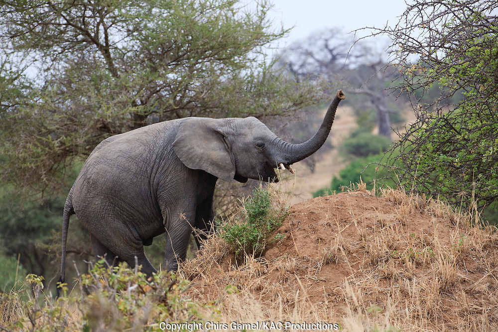Young elephant climbing dirt mound with trunk raised in the air to smell.