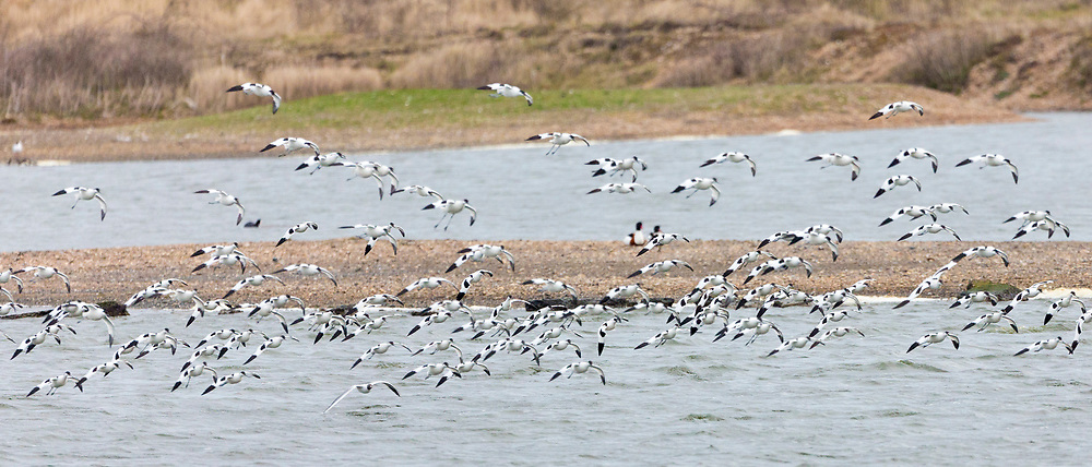 Large flock of Avocets, Recurvirostra, wading birds in flight over lagoon, wetlands and marshes in North Norfolk, UK