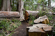 West Coast Trail - Day 1. Trail crews cut massive log to allow passage along trail.