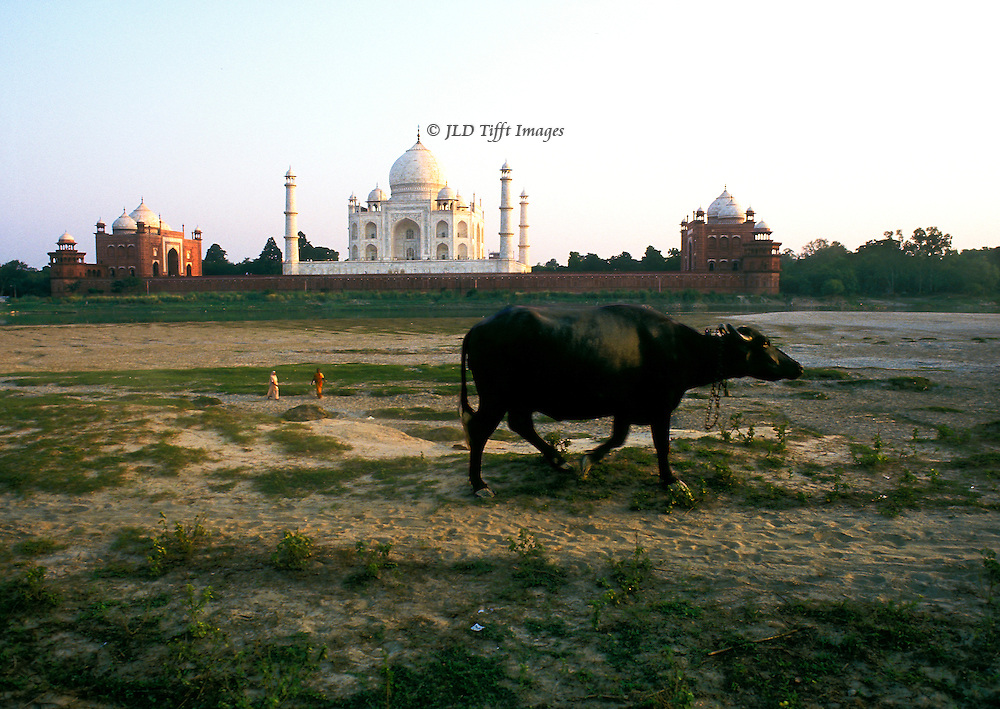 Taj Mahal at sunset from the other side of the Jumna river; buffalo walking by, on its way home.  The entire complex is visible: tomb, guest house, and mosque.  Two figures in the distance in brightly colored saris.