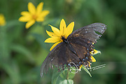 "An Eastern Tiger Swallowtail or ""Black Swallowtail"" feeds on the nectar of a yellow flower alongside Skyline Drive, part of the Shenandoah National Park in Virginia."