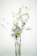 bouquet yellow buttercup flowers